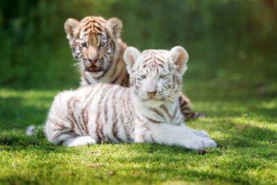Zwei entzückende Tigerjunge draußen