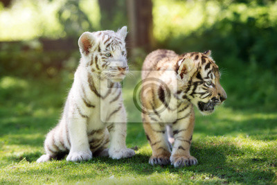 Zwei entzückende Tigerjunge draußen zusammen