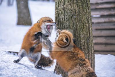 Fototapete Zwei Füchse im Wald kämpfen im Schnee