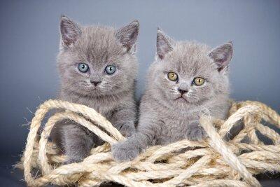 Fototapete Zwei graue Kätzchen Briten und Seil auf einem grauen Hintergrund