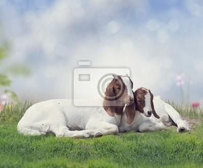 Zwei junge Boer-Ziegen