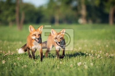 Zwei junge Füchse gehen auf einem Feld im Sommer