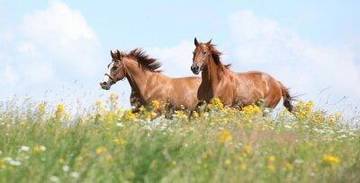 Fototapete Zwei Kastanien-Pferde laufen zusammen
