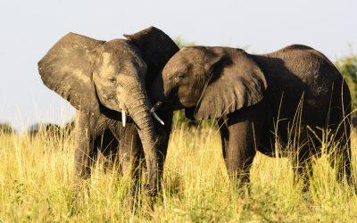 Fototapete Zwei liebevolle Elefanten