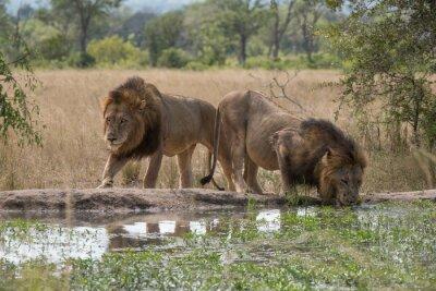 Fototapete Zwei Löwenbrüder am Wasserloch