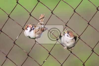 Zwei Lustige Kuken Sitzen In Zellen Metall Zaun Fototapete