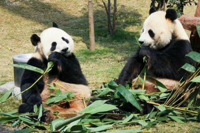 Fototapete Zwei Pandas essen Bambus