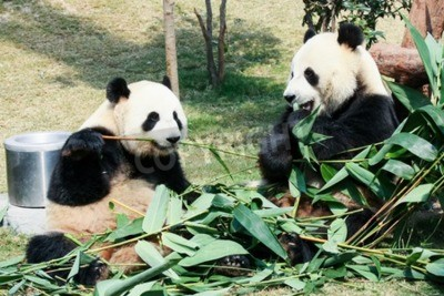 Fototapete Zwei riesige Pandas essen Bambus