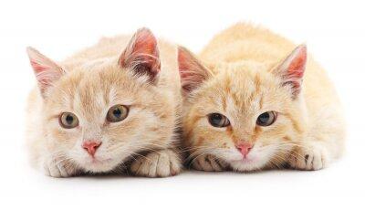 Fototapete Zwei rote Katzen.