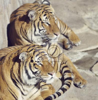 Zwei Stillstehende Tiger