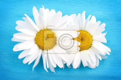 Zwei weiße Gänseblümchen auf blauem Hintergrund
