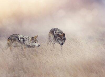 Zwei Wölfe im hohen Gras