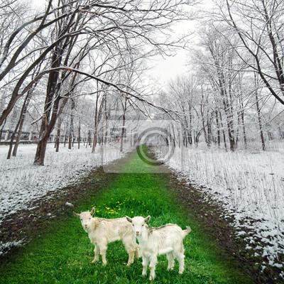Zwei Zicklein in Winter Park