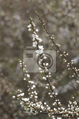Zweig mit Apfelblüten