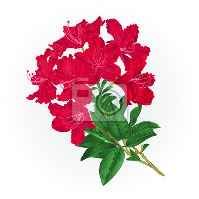 Zweig rote blumen rhododendron vintage botanischen hintergrund fototapete zweig rote blumen rhododendron vintage botanischen hintergrund vektor illustration editierbare hand zeichnen thecheapjerseys Images