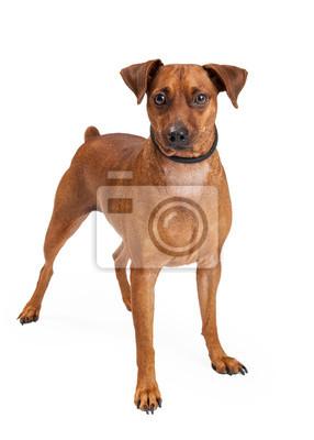 Fototapete Zwergpinscher Mix Breed Dog Standing