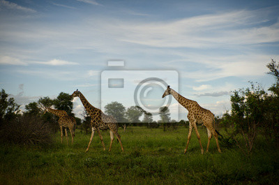 3 Giraffen in der Dämmerung