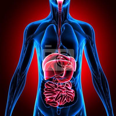 3d-darstellung der männlichen verdauungssystem, menschliche anatomie ...