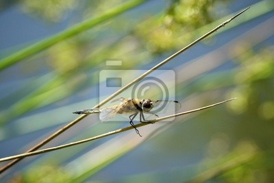 4 spotted Chaser Libelle