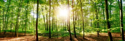 Poster  65/5000 Forest in spring with bright sun shining through the trees