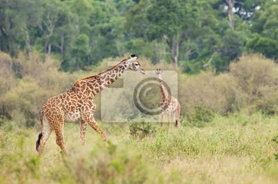 A giraffe walking in the African bush