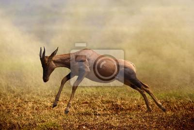 A jumping Topi antelope, Masai Mara
