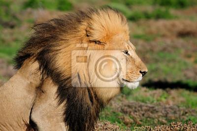 A Kalahari Löwen, Panthera leo im Addo Elephant National Par