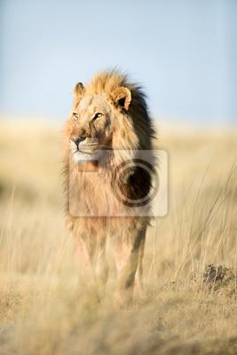 A lion in golden morning light