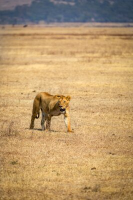 A lonely lioness inside the Ngorongoro crater in Tanzania, Africa