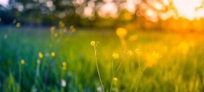 Poster Abstract soft focus sunset field landscape of yellow flowers and grass meadow warm golden hour sunset sunrise time. Tranquil spring summer nature closeup and blurred forest background. Idyllic nature