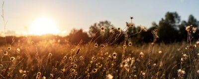 Poster Abstract warm landscape of dry wildflower and grass meadow on warm golden hour sunset or sunrise time. Tranquil autumn fall nature field background. Soft golden hour sunlight panoramic countryside