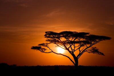 Acacia Baum gegen Sonnenaufgang in der Serengeti in Tansania