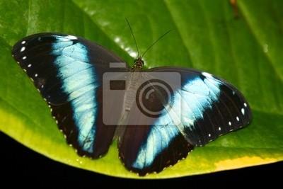 Achilles Morpho-Schmetterling