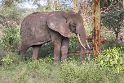 Poster Adult Elefanten mit großen Stoßzähne stehen im Profil in der Nähe von Baumstamm. Lake Manyara Nationalpark, Tansania, Afrika.