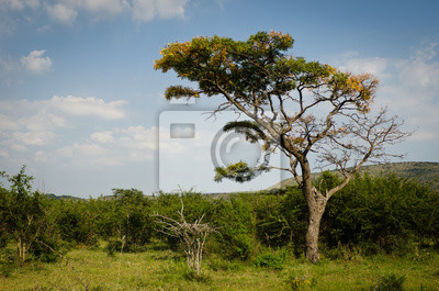 African Baum