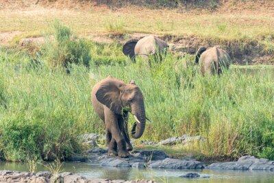 African elephant feeding on reeds on an island