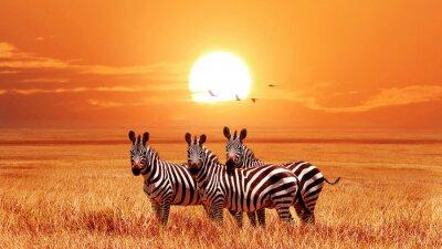 Poster African zebras at beautiful orange sunset in the Serengeti National Park. Tanzania. Wild nature of Africa.