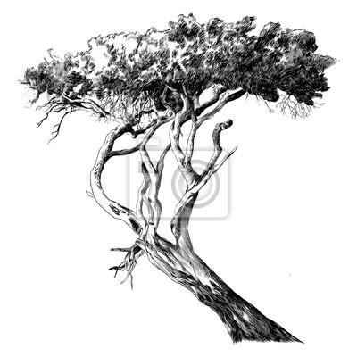 Poster Afrikanische Baum Skizze Vektor Grafiken Monochrom Zeichnung