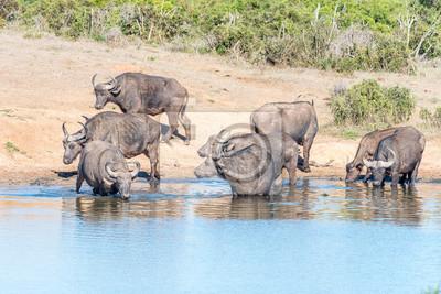 Afrikanische Büffel trinken