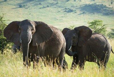 Poster Afrikanische Elefanten auf afrikanische Savanne