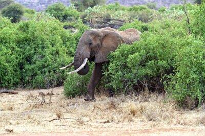 Poster Afrikanische Elefanten in der Savanne