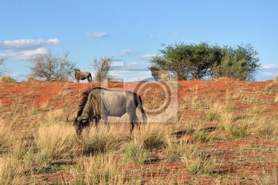 Afrikanische Tierwelt. Kalahari Wüste, Namibia