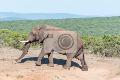 Afrikanischen Elefanten zu Fuß