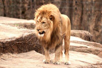 Poster Afrikanischen Löwen
