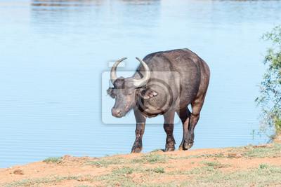 Afrikanischer Büffel an einer Verdammung