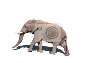 Afrikanischer Elefant, getrennt im Weiß