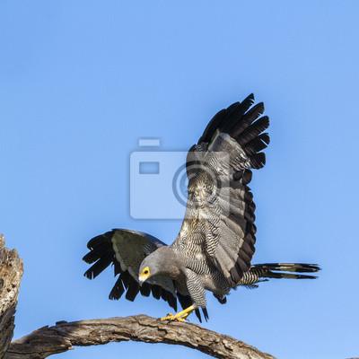 Afrikanischer Geländeläufer-Falke in Nationalpark Kruger, Südafrika