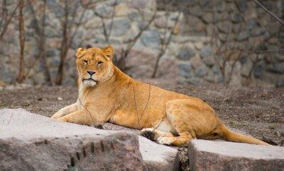 Poster Afrikanischer Löwe