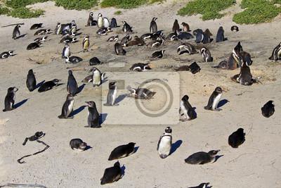 Afrikanischer Pinguin-Kolonie