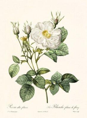 Poster Alte Abbildung von Rosa alba foliacea. Erstellt von PR Redoute, veröffentlicht auf Les Roses, Imp. Firmin Didot, Paris, 1817-24